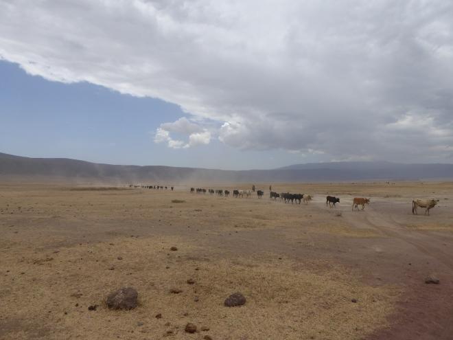Massai mit ihrer Herde Kühen