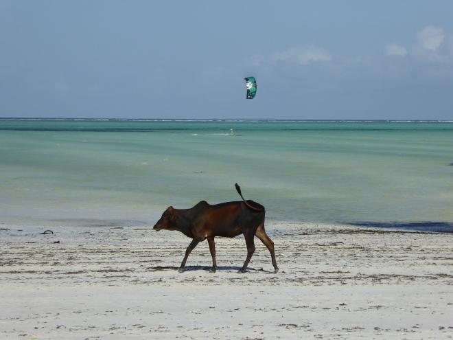 Ganz normal eine Kuh am Strand ;-)